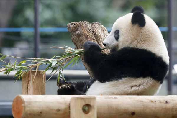"""旅日大熊猫""""香香""""正式离开妈妈独立 专心啃竹子十足小吃"""