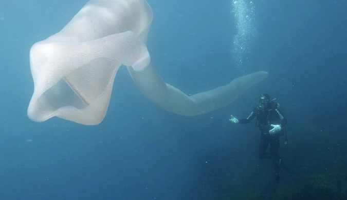 """潜水员在新西兰小岛发现8米长""""海泡菜"""""""