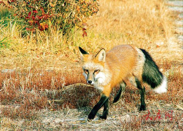 摄影爱好者湿地拍到狐狸 放归自然还是留园饲养