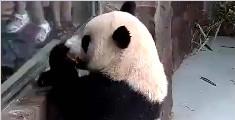 一只敢在人类面前炫耀吃苹果的熊猫