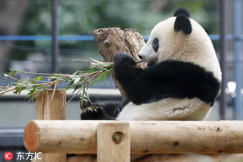 """媒体:旅日大熊猫""""香香""""正式离开妈妈独立 专心啃竹子十足吃货"""