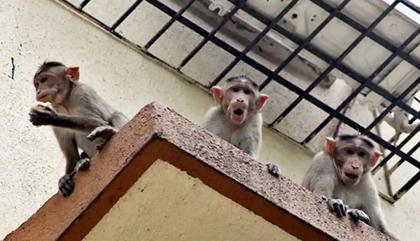 印度一婴儿被猴抢走:全身受伤致死 出生仅12天