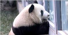 大熊猫的卖萌日常