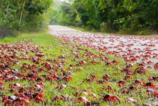 圣诞岛红蟹开启年度大迁徙 集结百万奔赴大海