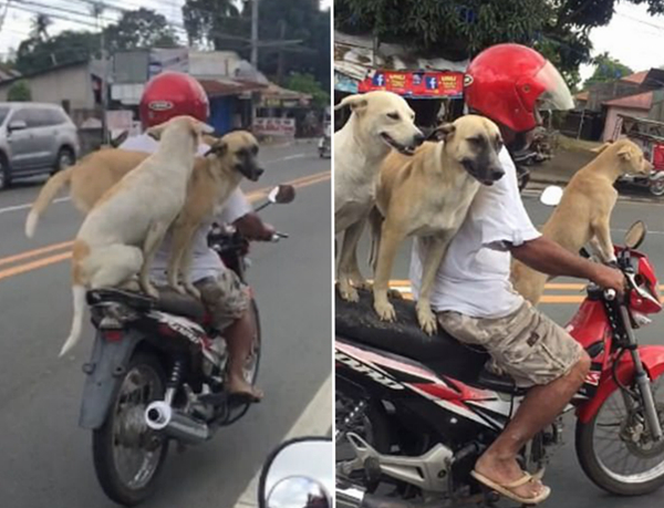 萌翻!菲律宾三只汪星人坐主人摩托车淡定兜风