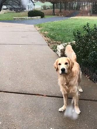 逗趣!美金毛犬第一次见雪各种撒欢打滚