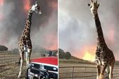 加州野火致数千野生动物和宠物丧生或走失