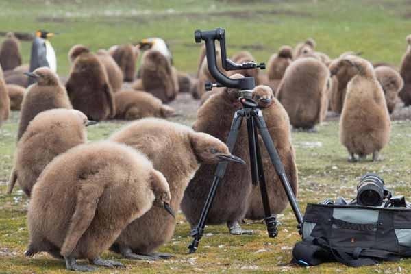 """帝企鹅""""狗仔队""""C位出道!霸占摄影师相机无所畏惧"""