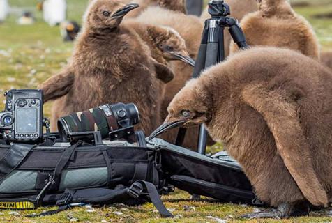 企鹅狗仔队出动!摄影师拍照引企鹅宝宝群围观