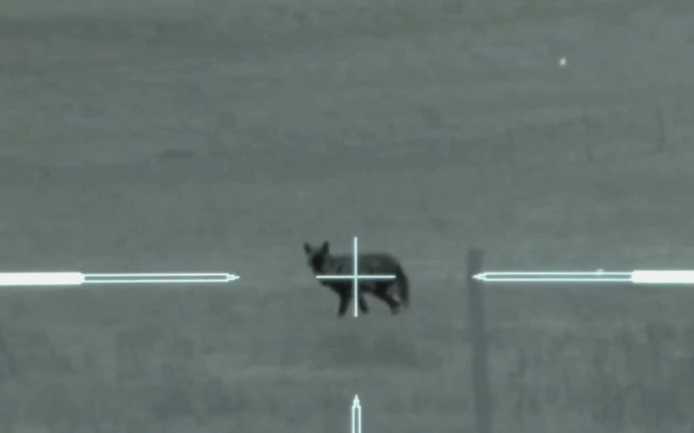 枪枪毙命:美国德州农场主用夜视仪狙击枪击毙45头郊狼