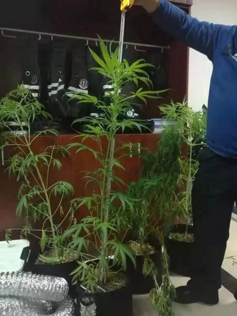 嫌直接买大麻来吸太贵,衢州男子在家自己种了4盆精心照料