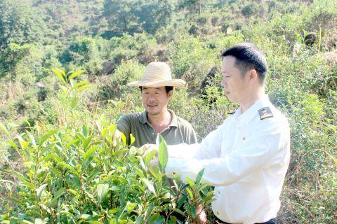 我市炒茶前10月出口炒茶500多吨