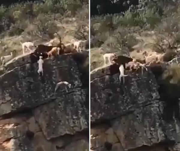 惊险!西班牙多只猎犬峭壁边捕鹿失足坠崖