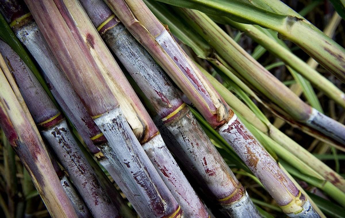 广西糖业转型升级:一根甘蔗两头甜