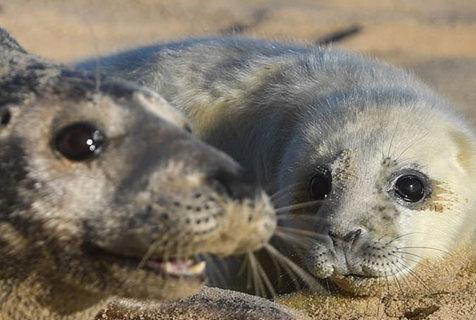 英灰海豹进入繁殖期 小海豹一脸萌相惹怜爱