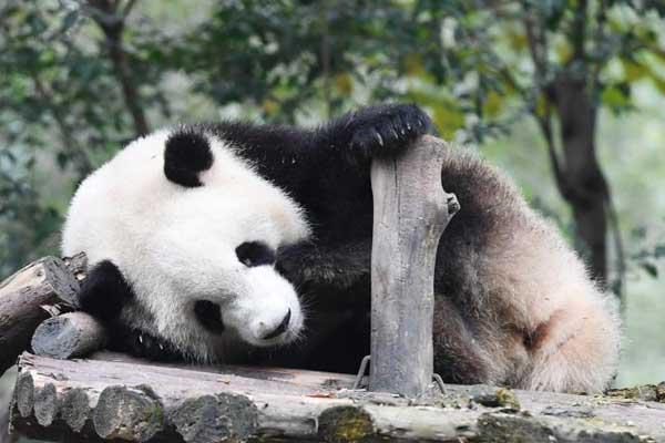 成都大熊猫冬日卖萌迷倒粉丝