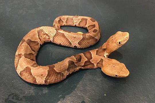 美国罕见双头蛇死亡:一个身体却有两种思想(图)