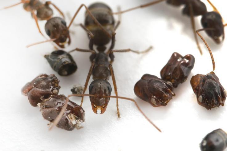 """蚂蚁王国""""杀人狂"""":不仅肢解同类,还用头颅装饰巢穴"""