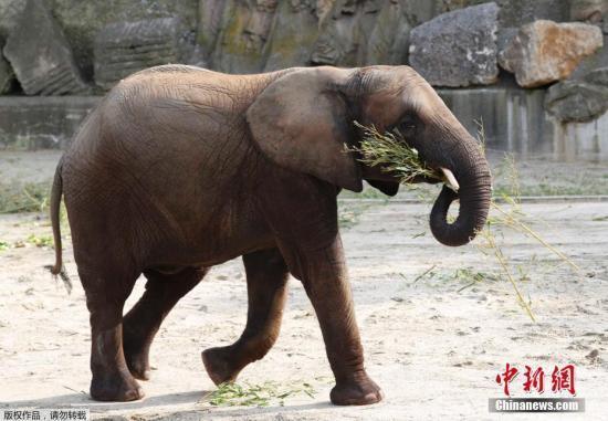 """拯救大象刻不容缓!印度首家""""大象医院""""开业(图)"""