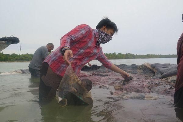 印尼海岸发现9.5米长抹香鲸尸体 腹中12斤塑料垃圾