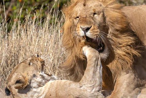 """肯尼亚母狮""""右勾拳""""猛击雄狮发泄丧子之痛"""