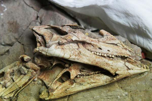 吉林大学科研团队发现恐龙牙釉质波纹构造的最早记录