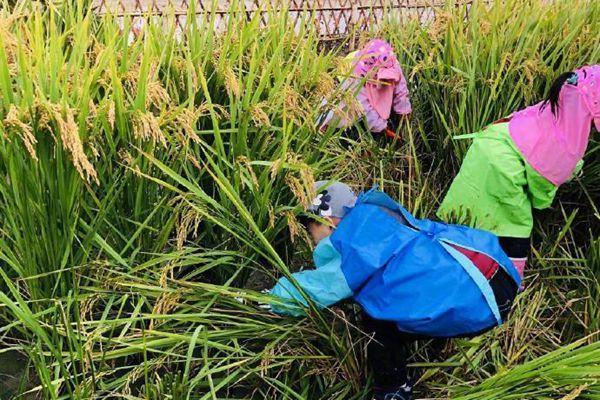 厉害!杭州这所幼儿园组织小朋友割水稻!每人奖励两斤新