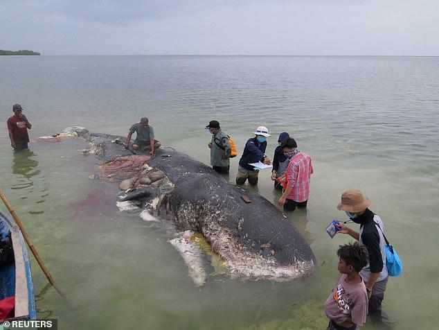 印尼海滩惊现鲸鱼尸体 胃里竟藏大量垃圾