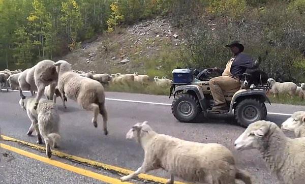 美高速路惊现2000只绵羊堵路 司机被迫停车等待
