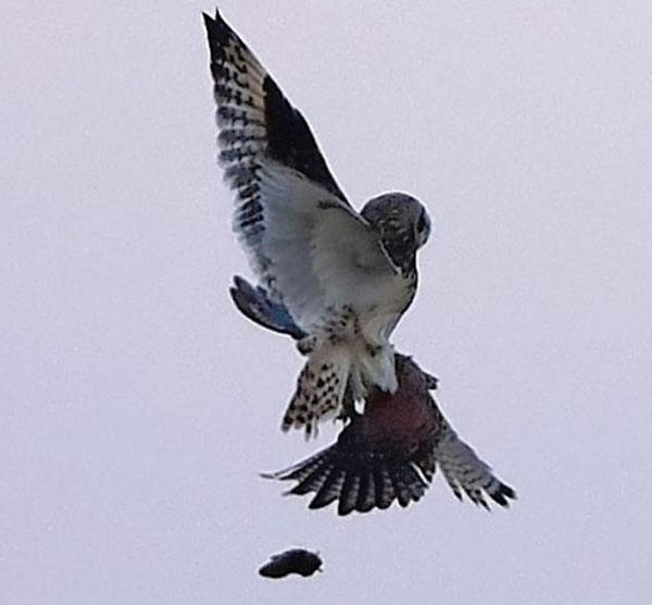 猫头鹰与红隼空中混战 失手让爪下田鼠逃脱