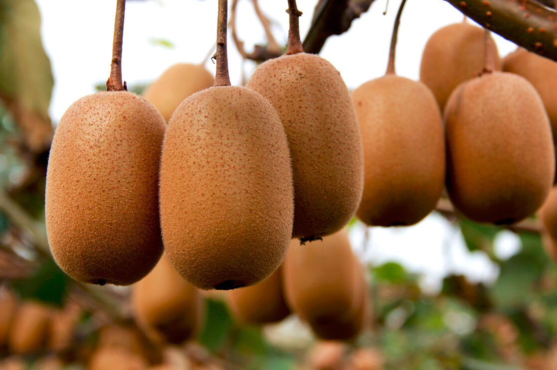 中国猕猴桃产量居世界第一