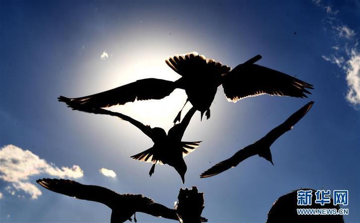 昆明:红嘴鸥光影