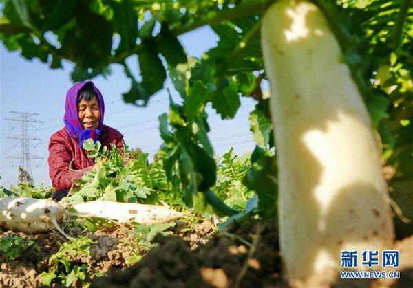 河北黄骅:白萝卜种植促增收