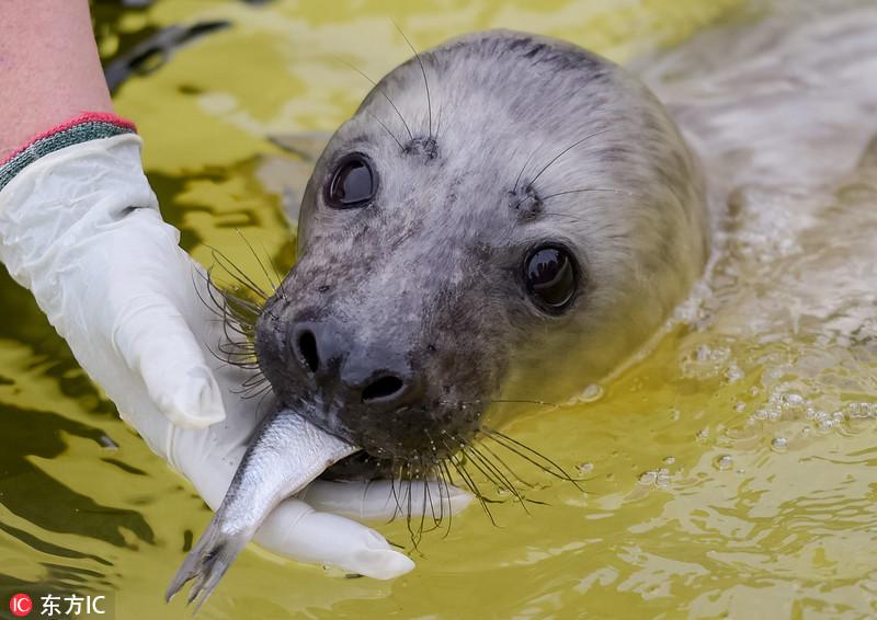 灰海豹宝宝吃鱼发现被拍 瞪着铜铃大眼萌爆了