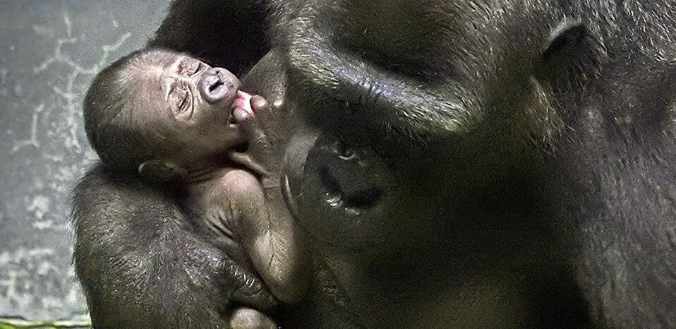 俄莫斯科动物园诞生稀有低地大猩猩幼崽