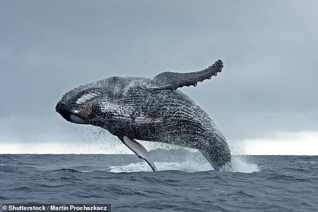 """鲸类每隔几年会换""""曲子"""" 以便同伴记忆自己声音"""