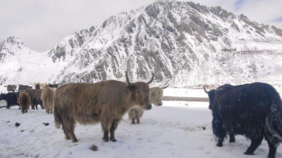 法媒:啥情况?中国竟然为藏区牦牛们上保险!