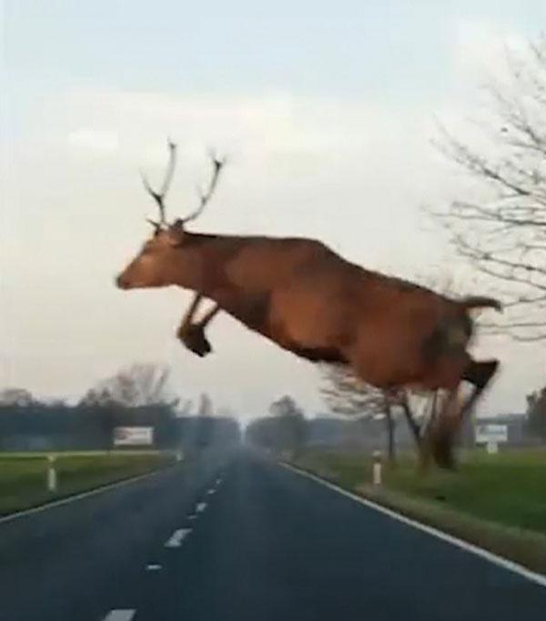 飞给你看!波兰一麋鹿在司机眼前跃起横跨公路