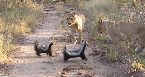 勇敢!南非两蜜獾对抗三只狮子毫不畏惧
