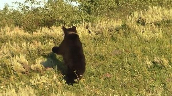 黑熊妈妈为保护幼崽躲避公熊 将其送到树上躲藏