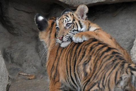 柏林动物园虎宝宝首次外出 挤在妈妈身旁羞羞哒