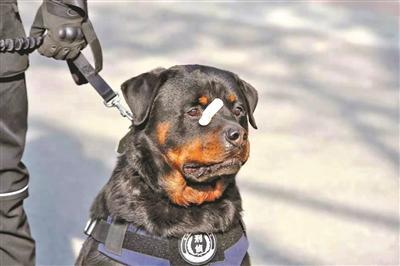 """揭秘""""创口贴警犬""""的警营八年 参与侦破多起重大案件"""