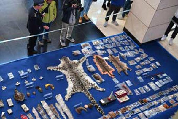 昆明查获702件珍贵濒危野生动物及其制品