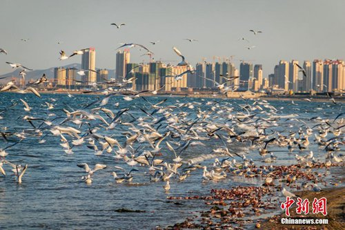 山东烟台海岸万鸥争食 场面壮观