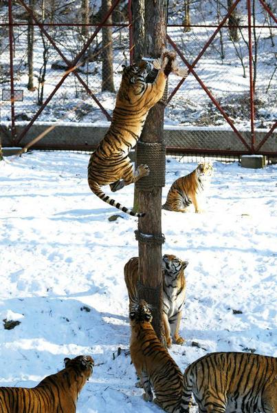 """东北虎林园:老虎爬树""""显身手"""""""