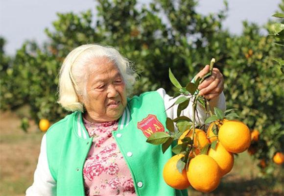 湖南永州:七旬老太酵素种橙结硕果