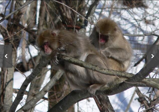 """日本福岛核泄漏致当地野猴""""宝宝""""生长迟缓"""