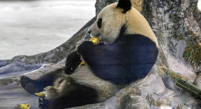 """大熊猫""""贡贡""""和""""舜舜""""与海南民众见面"""