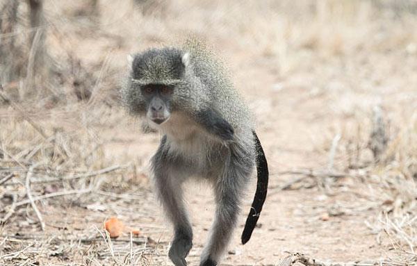 猴子触电后双臂被截 仍能用后肢自如活动跳跃