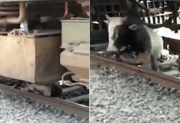 命大!印度一公牛卧铁轨间睡着被火车碾过并未受伤